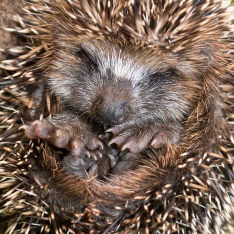 During mild winters hedgehogs often remain active into November and December although they typically hibernate from October/November until March/April. In case you see them in the winter, they have been known to move their nest.