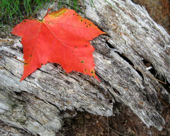 Some silvered wood, well-weathered provides the contrast to set off this maple leaf.