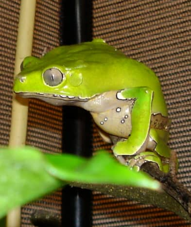 My giant waxy monkey tree frog, Phyllomedusa bicolor, also known as Zoidberg