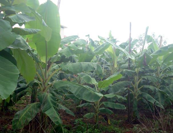 Growing plantain plants
