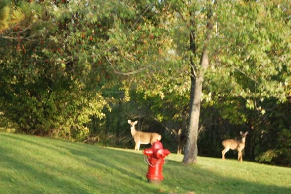 Whitetail Deer brazenly browse on the edge of town.