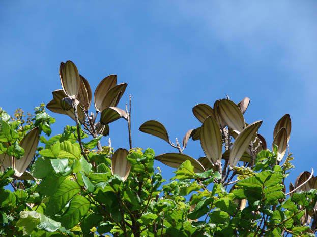 the seed pods