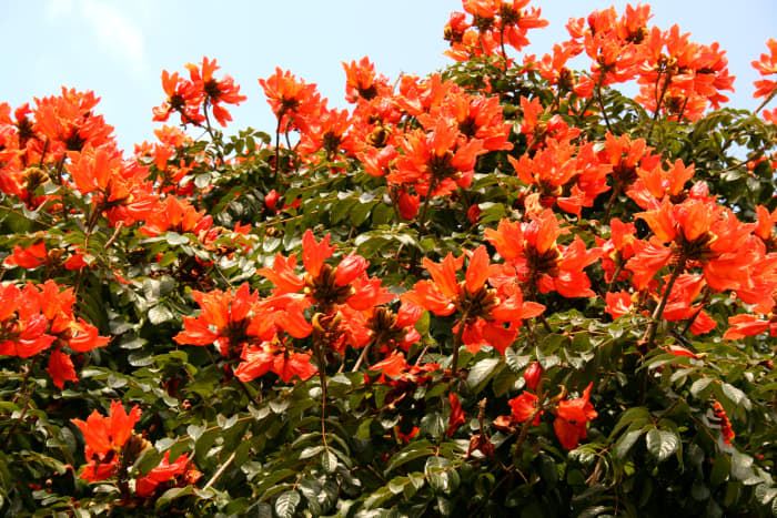 flame-of-the-forest-spathodea-african-tulip-tree