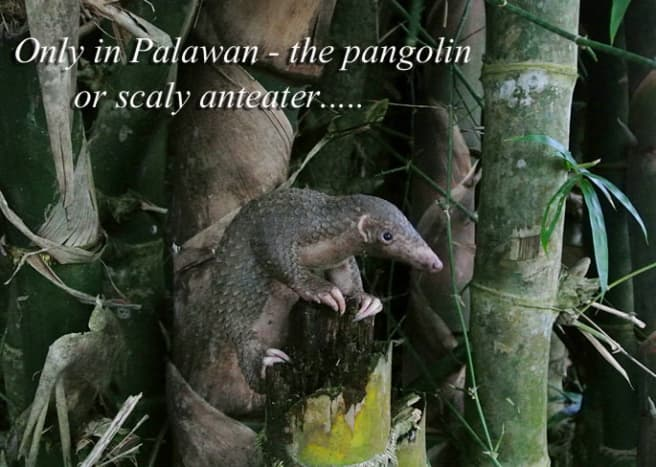 I think this baby pangolin was only 2 months old when he was given to us to raise. It's mom was killed by poachers.
