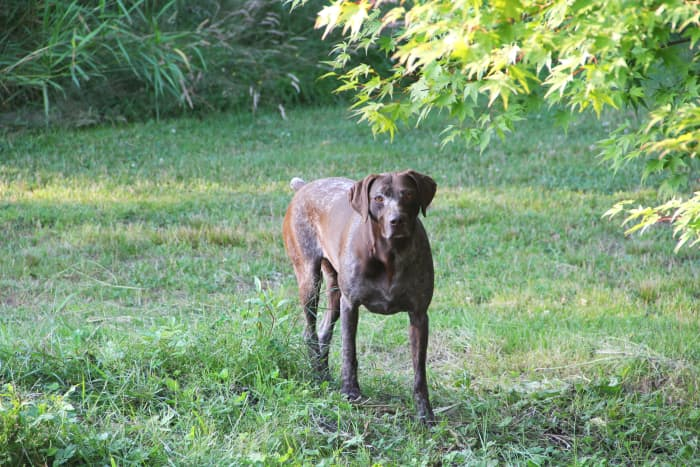 German Short-Haired Pointers are sometimes affected by the extremely rare Type II vWD.