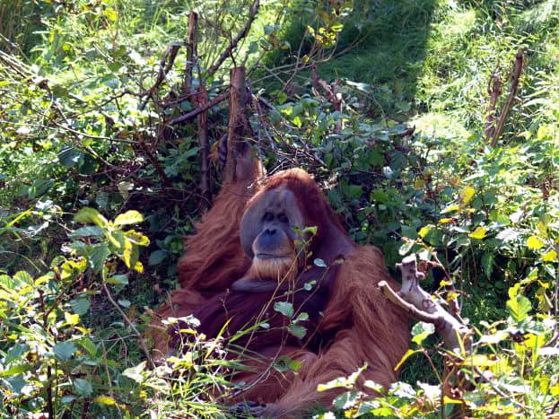 Bimbo the orangutan, outside in Pongoland.