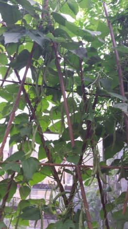 My own organic homegrown beans