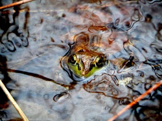 Frog in Saw Creek, Delaware National Forest, Pocono Mountains.