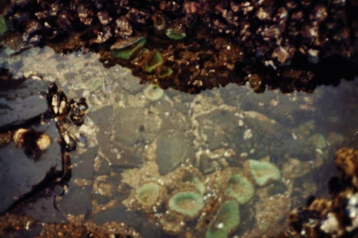Sea anemones at Lone Ranch along the Oregon Coast