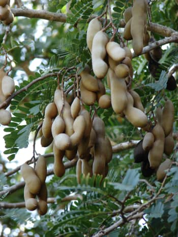 tamarind leaves and pods