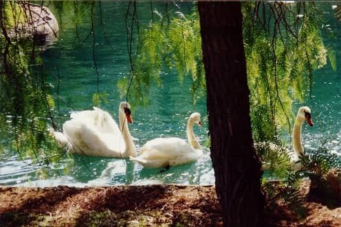Pretty swans at Valparaiso Palace Hotel grounds