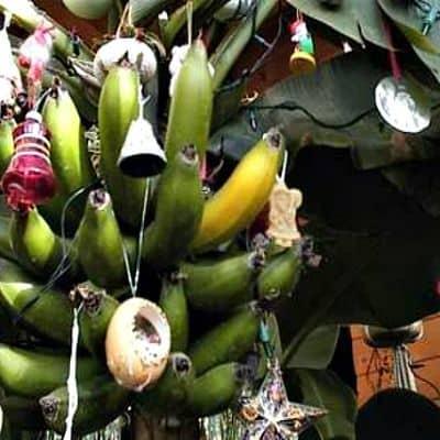 Decorating the banana tree is always fun
