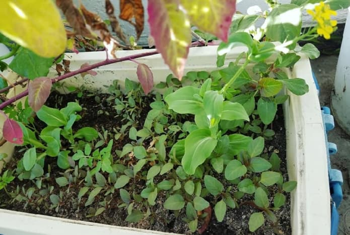 Young spleen amaranth or kalunay as it's been called in the Philippines sharing the spot with bok choi.