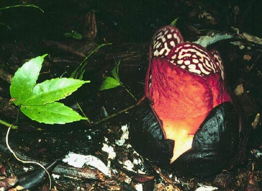rafflesia-queen-of-parasites-and-the-biggest-flower-on-earth