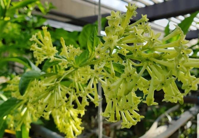 Flowers of night blooming jasmine.