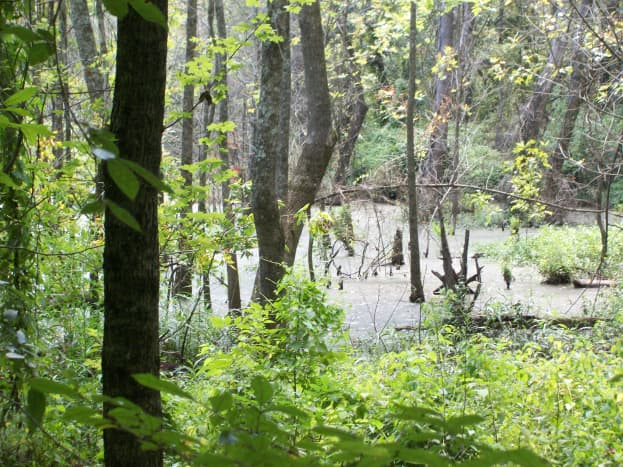 Swamp on the Four Mile Creek Greenway.