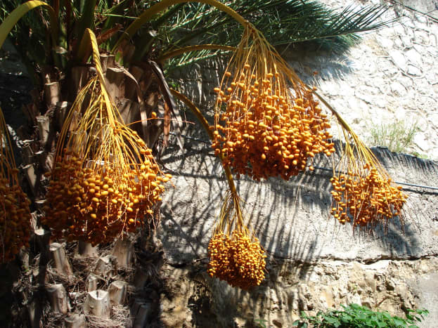 Ripe dates in Taormina (Sicily). Picture by Giovanni Dall'Orto, September 30 2006.