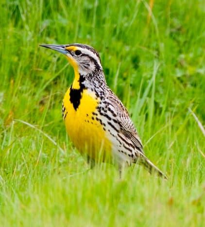 State Bird: Western Meadowlark [4]