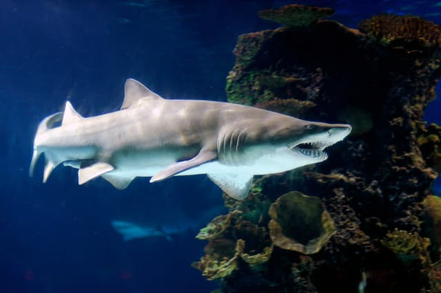 Sand Tiger Shark - one of four species found in Long Island Sound
