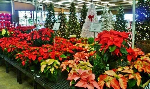 Poinsettias & Artificial Christmas Trees