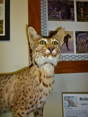 Taxidermied Bobcat at Nature Center