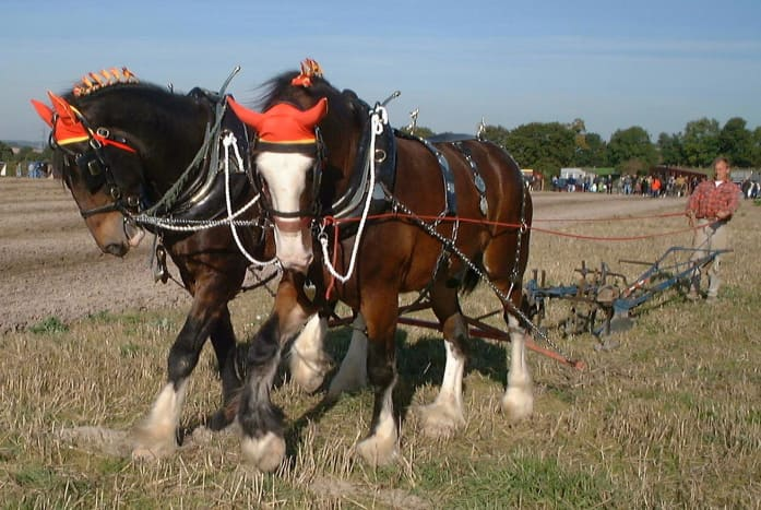 Shire horses harnessed to plow.