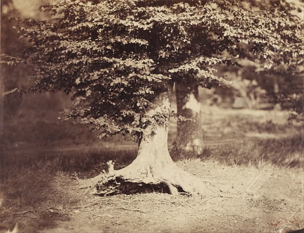 The Beech Tree.  Dated between 1855 - 1857.  Albumen Silver Photo, by Gustave Le Gray.