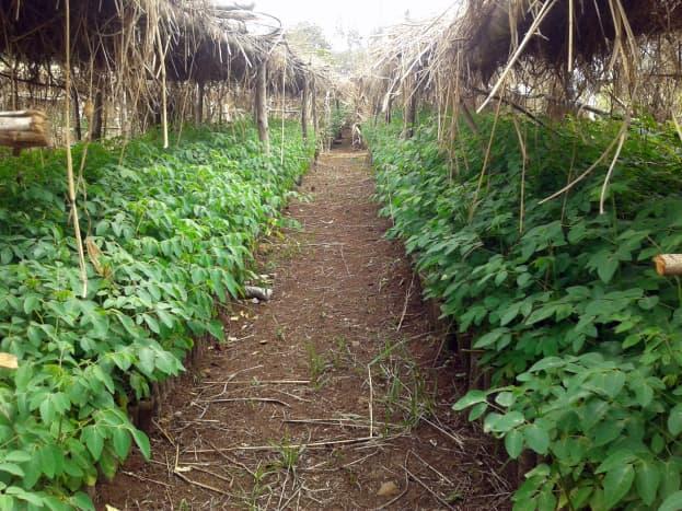Moringa oleifera farm