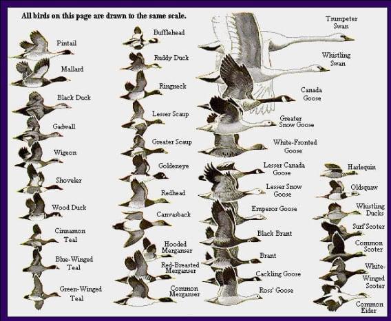 Duck Field Identification