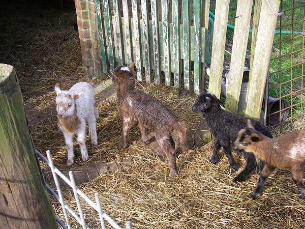 Lambs NatureGirl, Favored Fay, Yofi and DrMark
