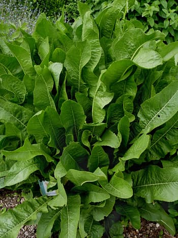The Horseradish Plant With Large Leaves
