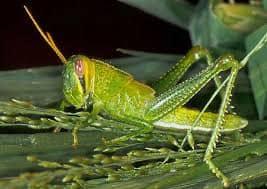 The shy green locust or grasshopper
