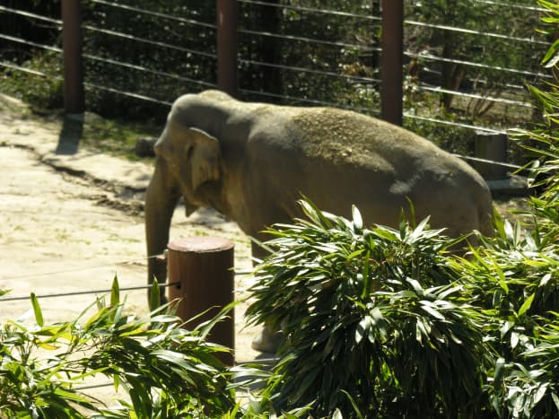 An elephant in the Elephant Trail, March 2019.