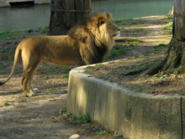 A lion strikes a pose, March 2019.