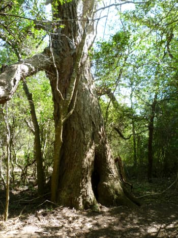 One trail leads to this old pecan tree.