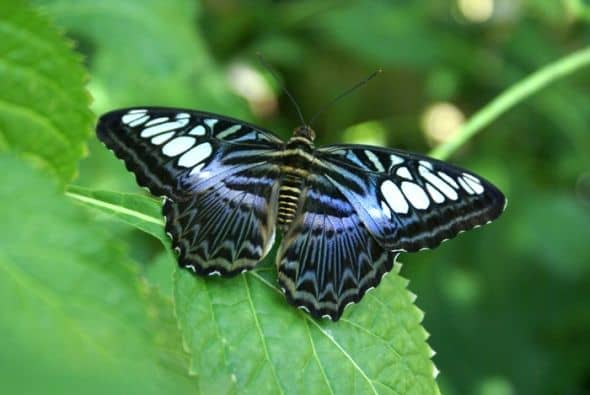 Banded Purple Wing butterfly is native to Costa Rica.
