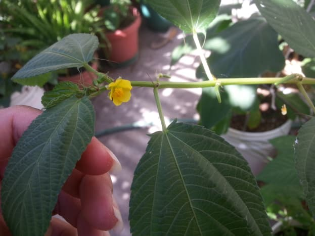 A flowering jute mallow in a container.