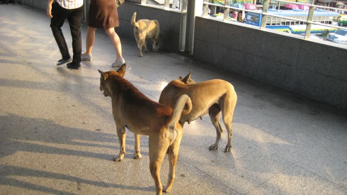Most Soi dogs are harmless