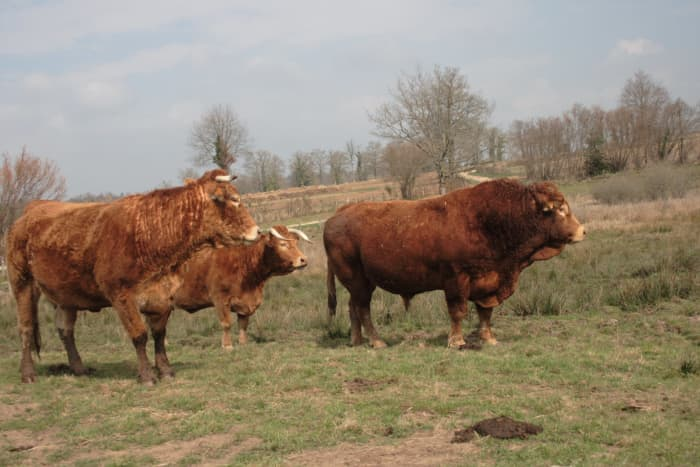 Limousin bull in fields with cows and calves