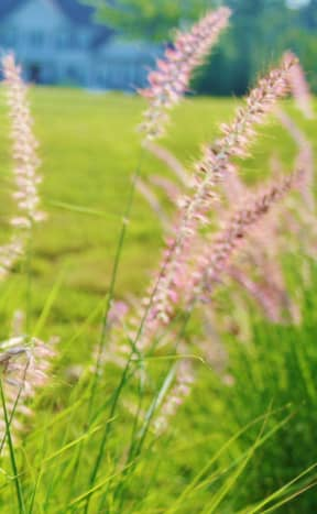 """Although it shares the common name """"bunny tails"""" with Lagurus ovatus, Pennisetum messiacum's blooms look more like foxtails."""