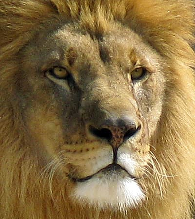 Man-eating lions are not just myths.  These large felines are killing machines which can easily rip you apart with its sharp claws and powerful bite. Remember that these big cats are adept in hunting.