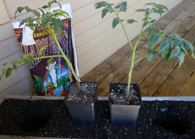 Patio tomatoes at the time of transplanting. The Zapotec Pleated tomato is on the left.