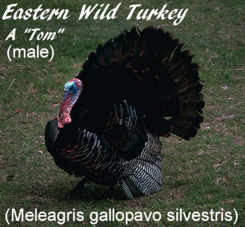 This is a male (tom) eastern wild turkey.