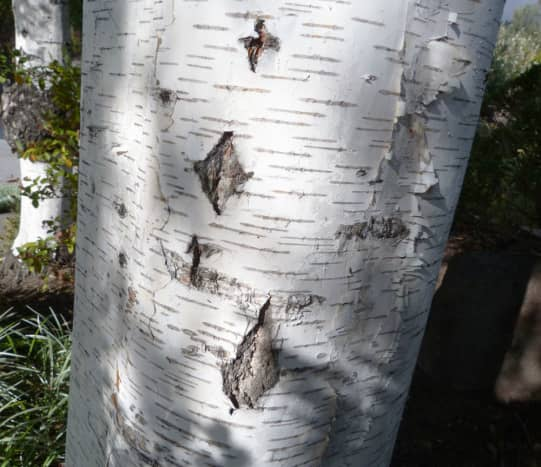 The dark diamond-shaped markings on the silver birch tree trunks are very distinctive. These are small vertical fissures or cracks that turned black as the tree aged.