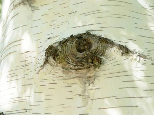 The weeping birch trees has startling markings on their white papery trunks which look like human eyes. It is so amazing how the human mind and imagination work together. After staring at the birch trees for a while, these 'eyes' seem to come alive a