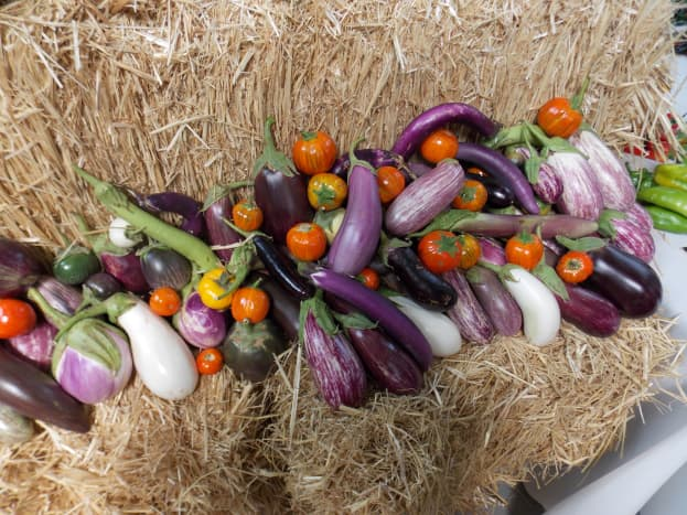 different  varieties of egg plants with different shapes, sizes ans colors