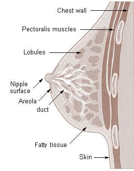 Drawing of a cross section of the breast