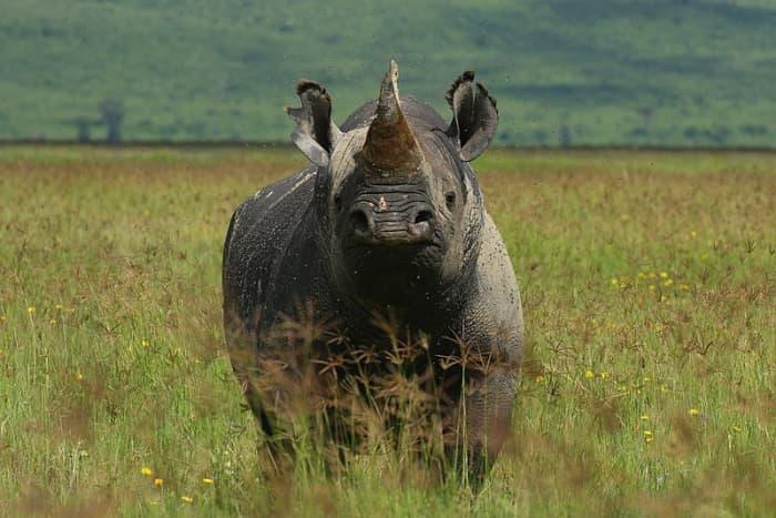 Black Rhino on Ngorongoro Crater