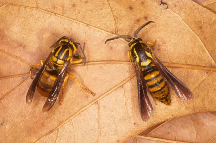 Yellow jacket wasp with a clearwing moth that displays Batesian mimicry by pretending to be a wasp.