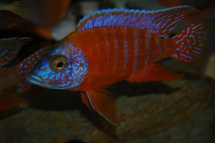The Red Peacock cichlid is a popular color variant of the Maleri Sunshine Peacock which features a bold red color instead of the typical yellow.